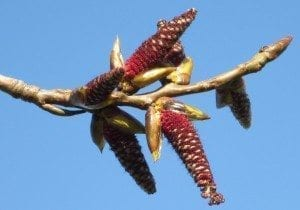Hybrid Black Poplar male catkins