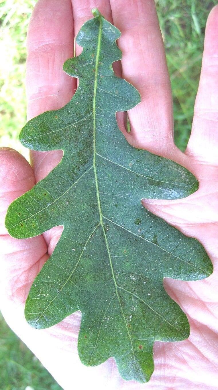 english oak leaf