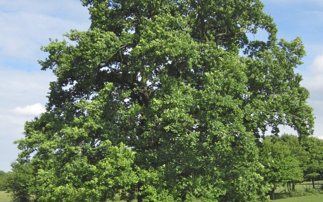 English and Sessile Oak