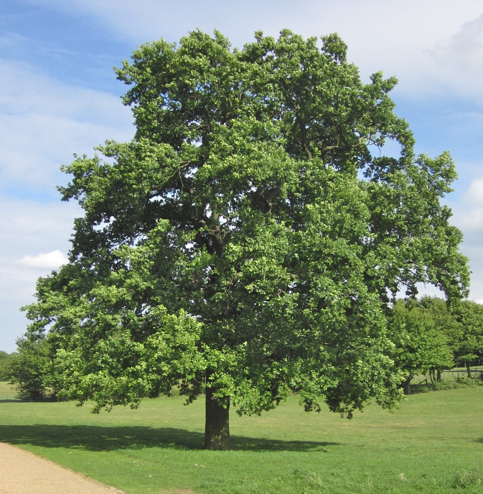 English Oak tree in mid May