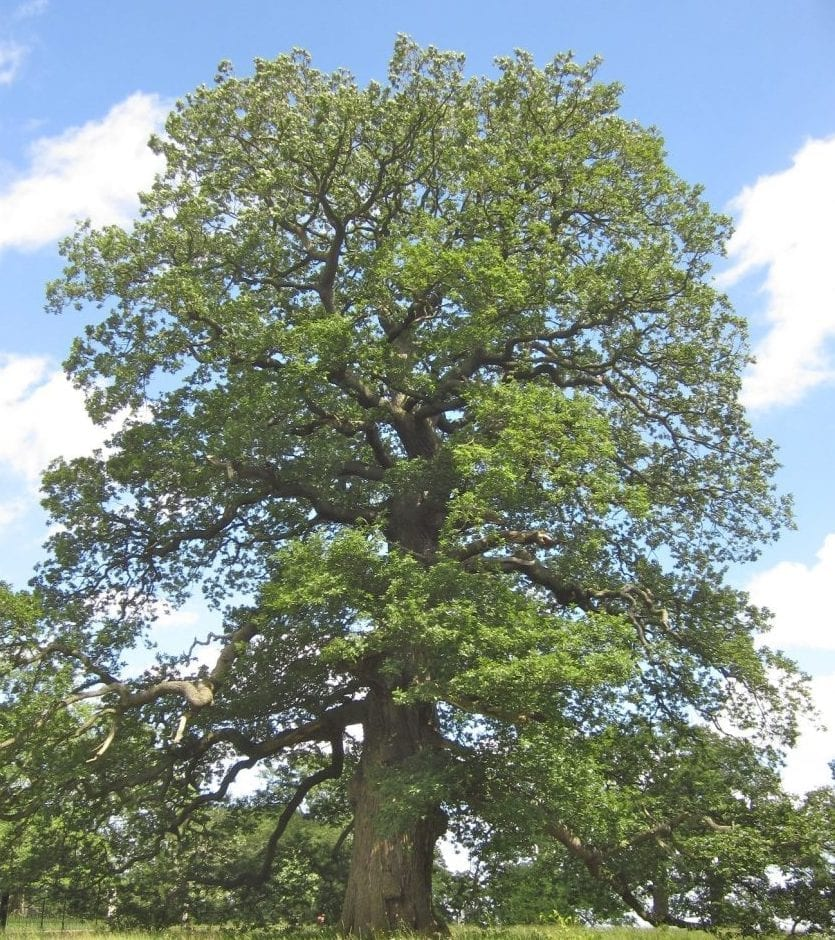 sessile oak tree in midsummer