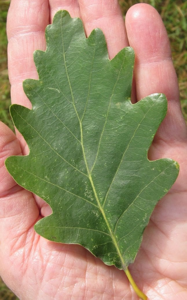 seesile oak leaf with long stalk