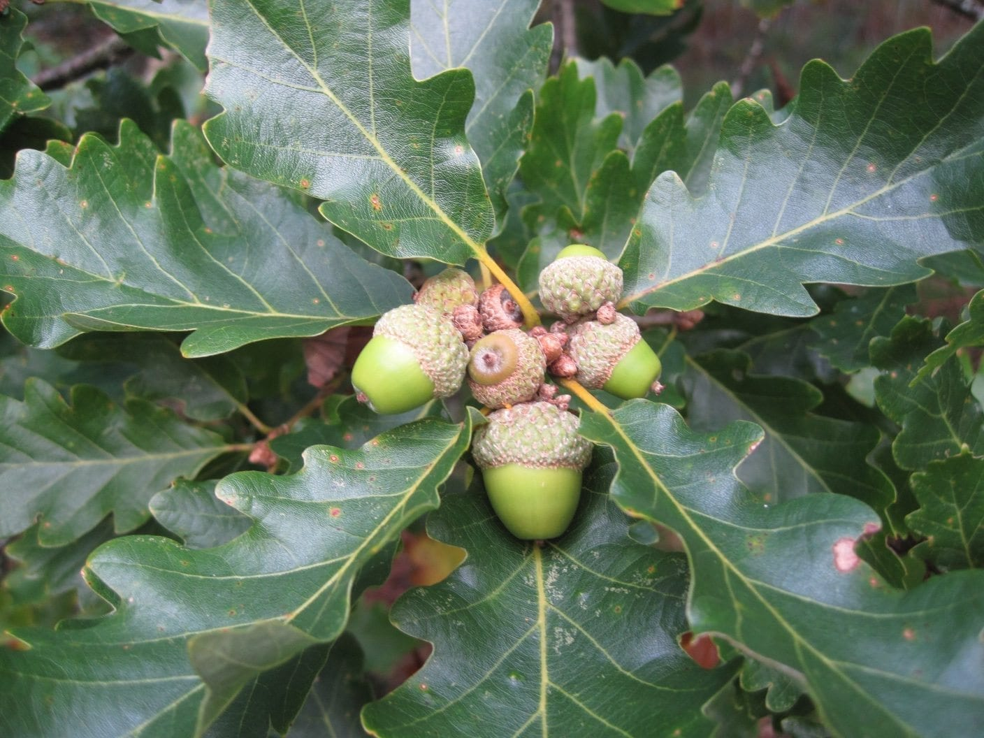 sessile oak acorns no stalk