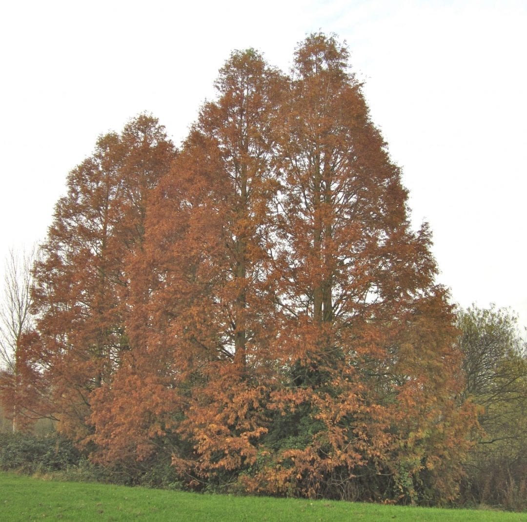 Dawn Redwood in November