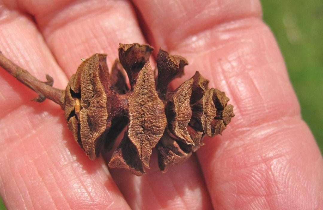 Dawn Redwood cone