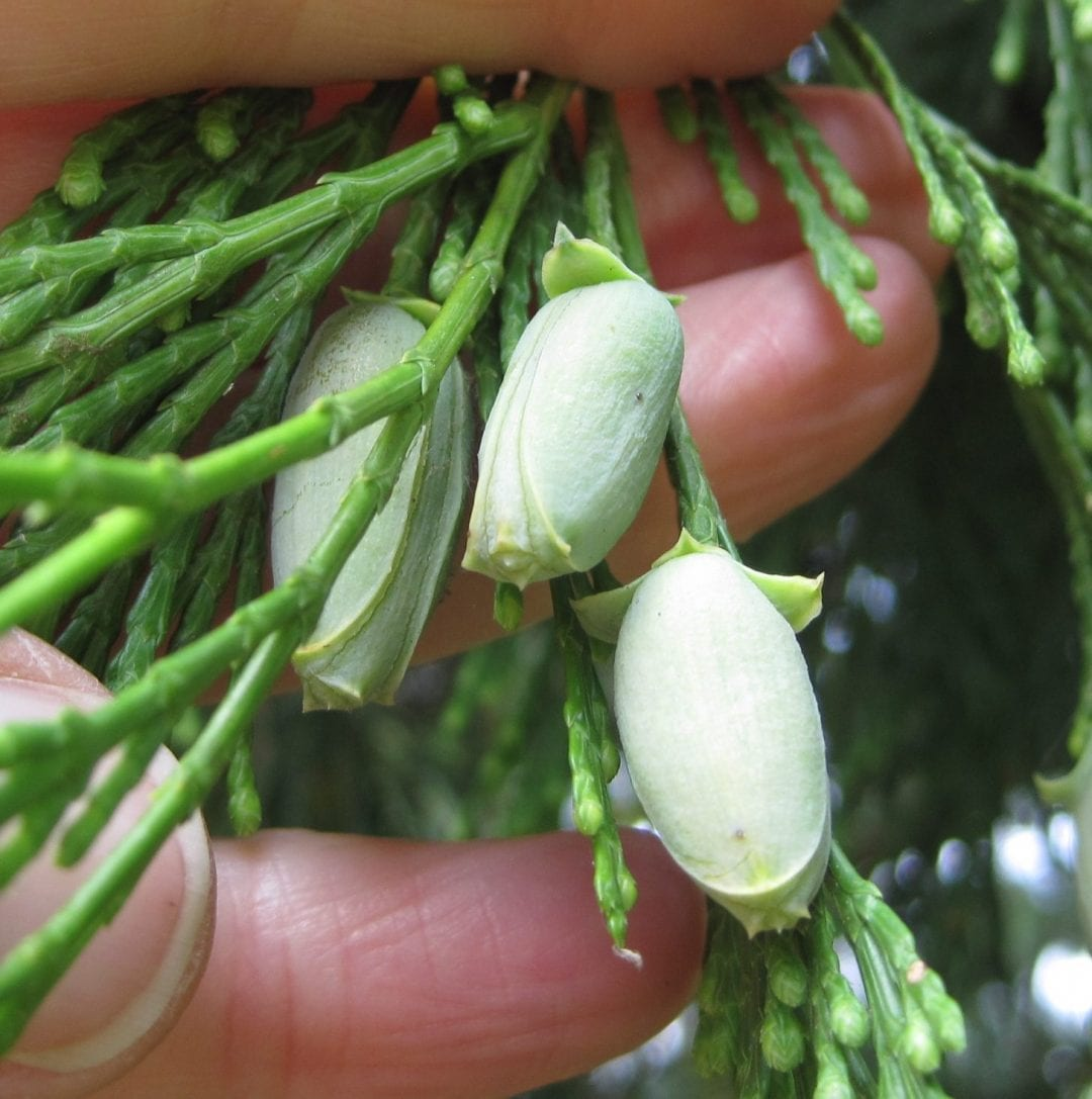 Incense Cedar cones