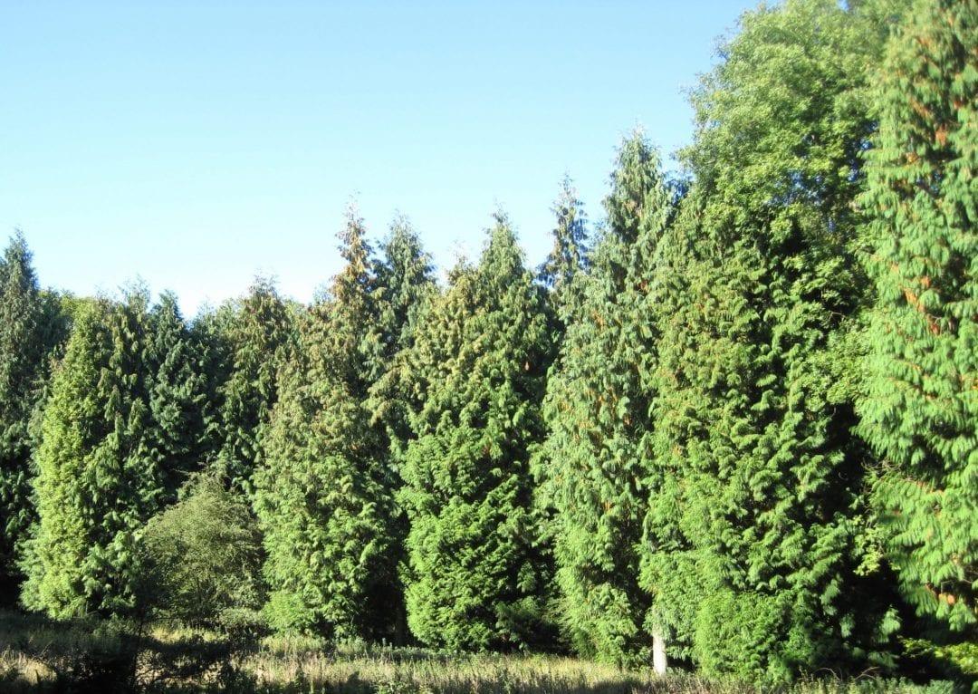 Western Red Cedars