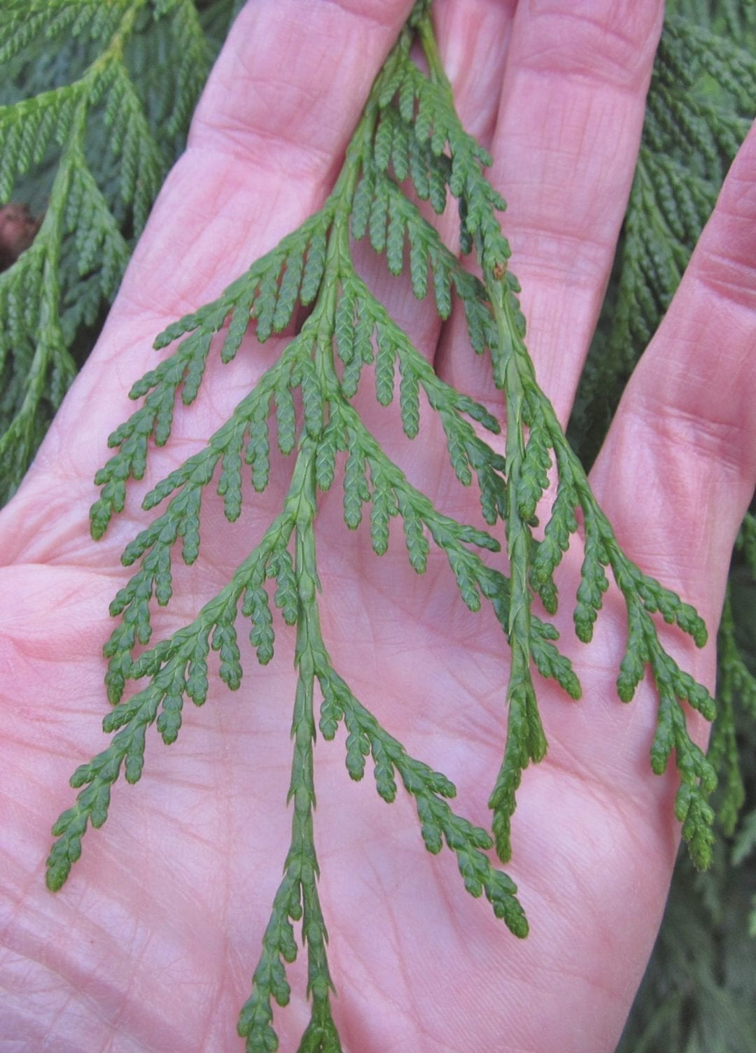 Western Red Cedar scale leaves