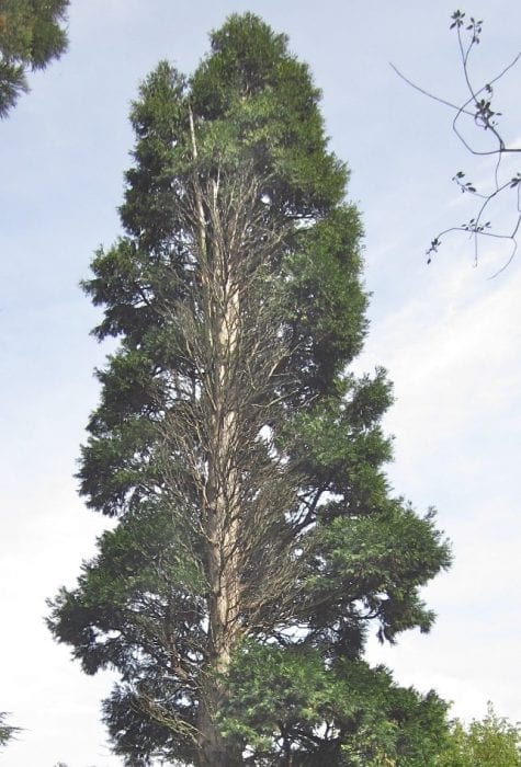 Two false cedars tree guide uk