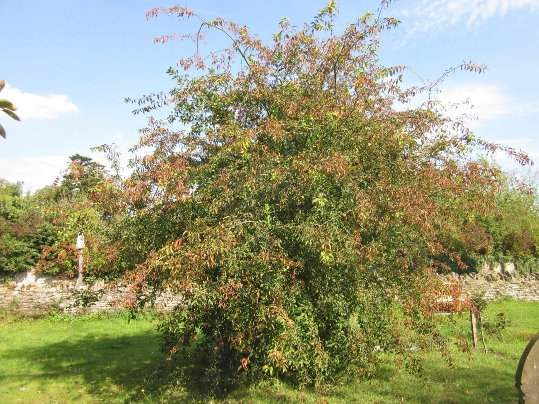 Spindle Tree in autumn