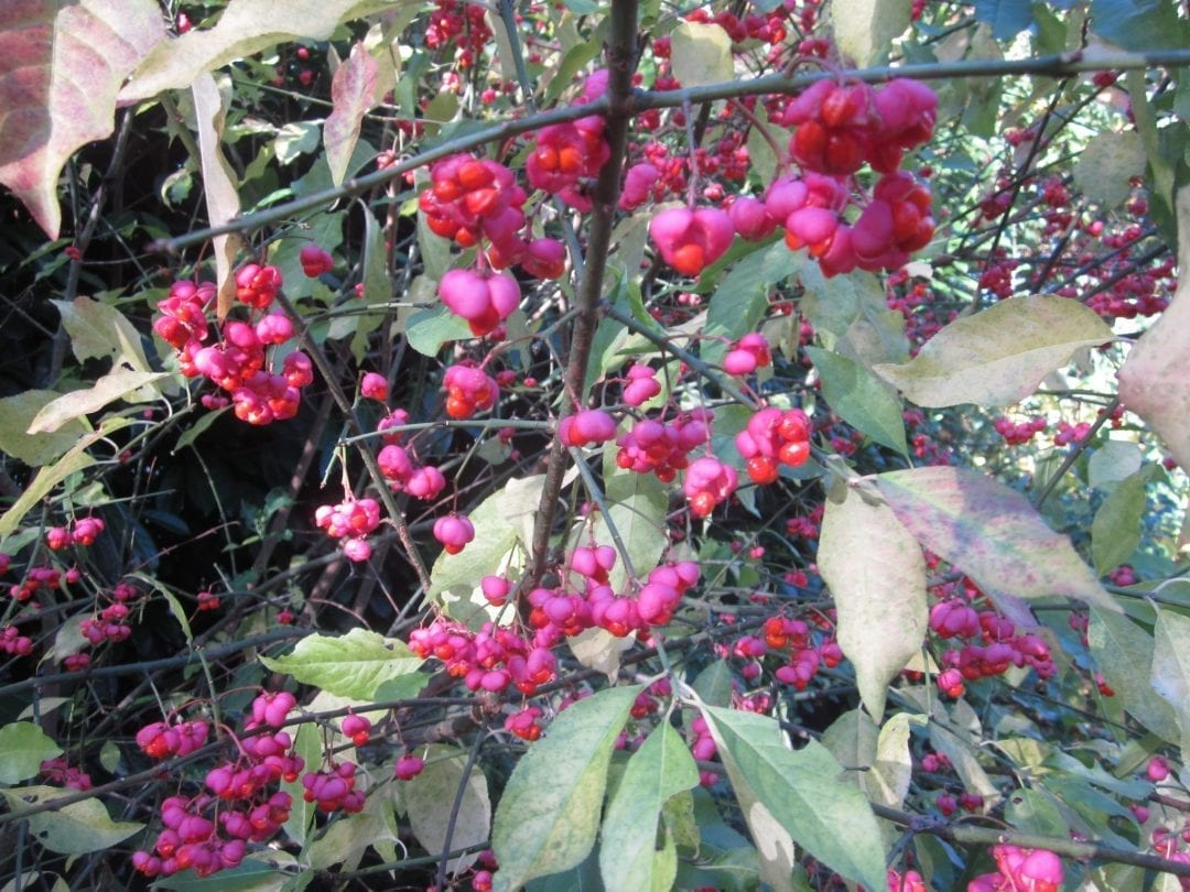 Spindle Tree fruit in autumn