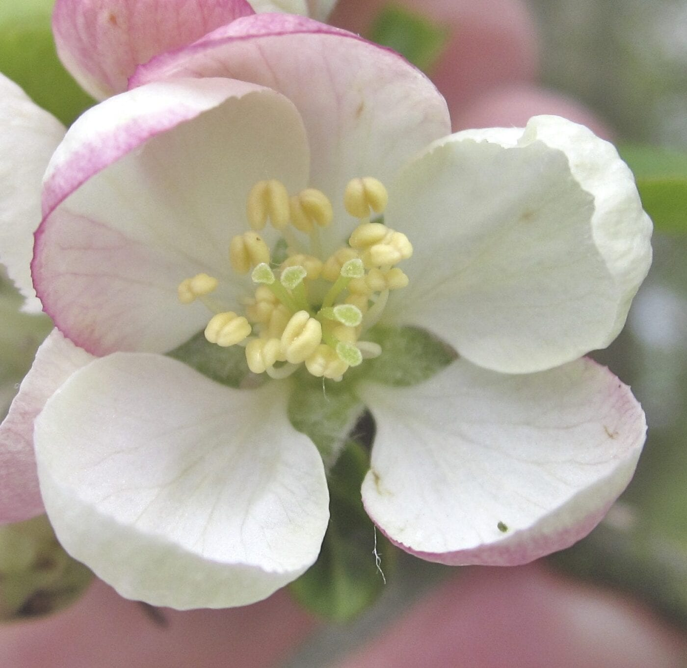 crab apple flower