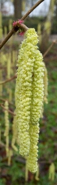 unisexual flowers common hazel catkins