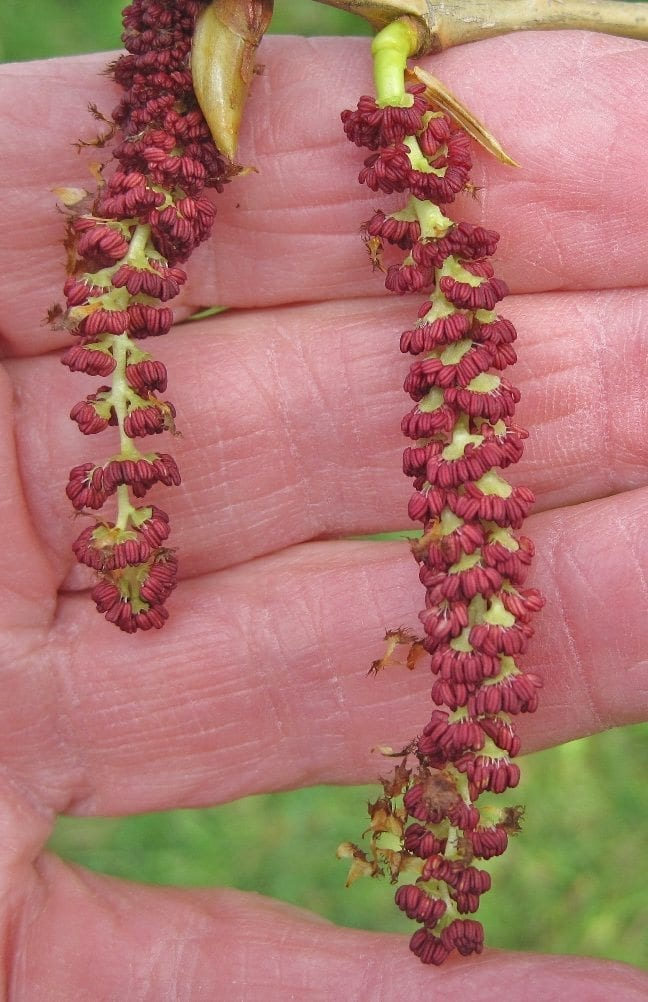 black poplar male catkins