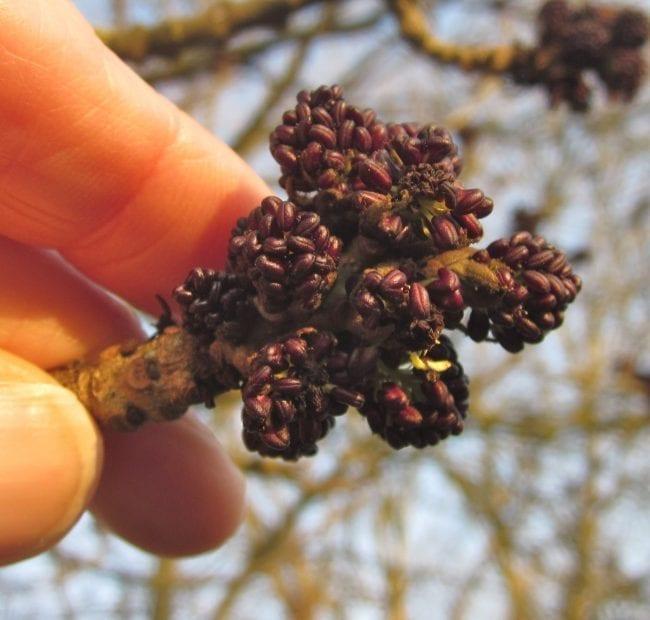 Common Ash tree male flowers
