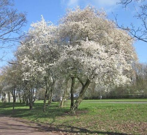 Early Flowering Tree