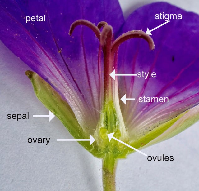 Geranium flower superior ovary