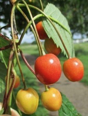 wild cherry drupes fleshy fruit