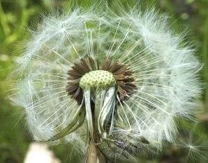 Dandelion cypsela