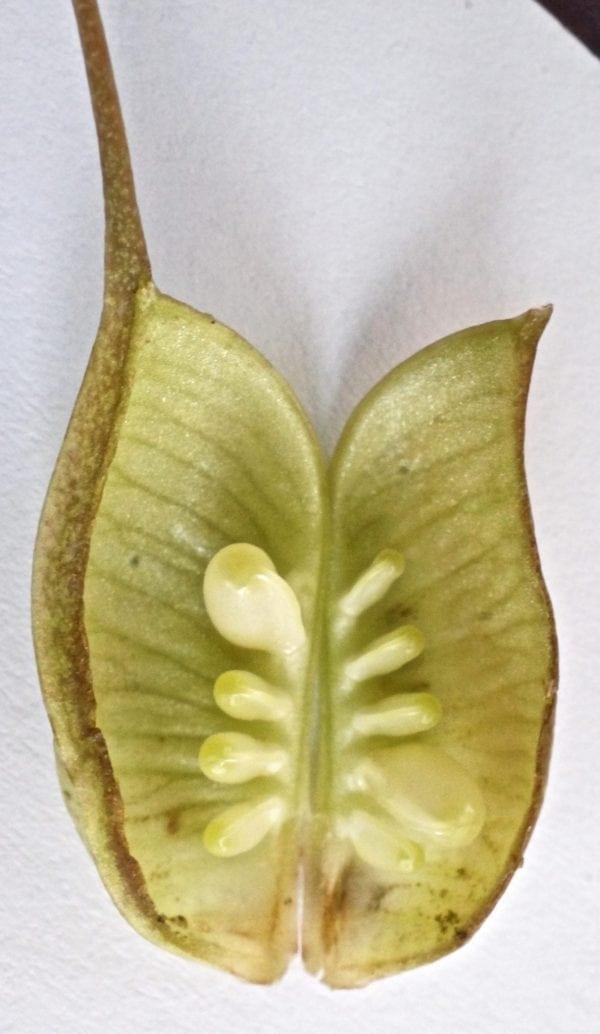 Hellebore follicle