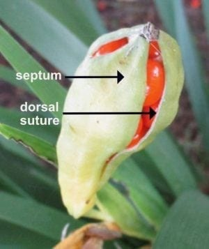 Stinking Iris loculicidal capsule
