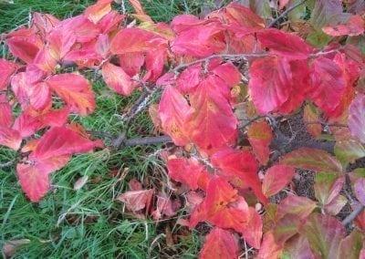 ironwood persian 7