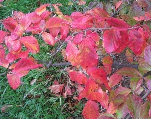 Persian Ironwood leaves