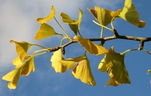 Maidenhair Tree leaves