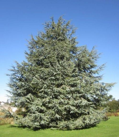 Atlas Cedar Cedrus atlantica