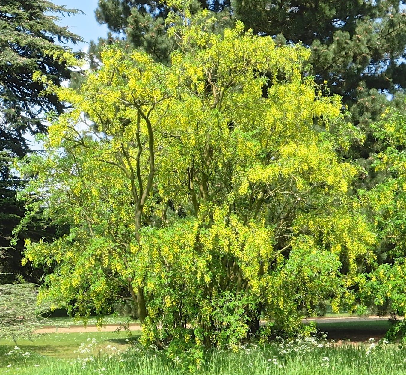 laburnum tree in April
