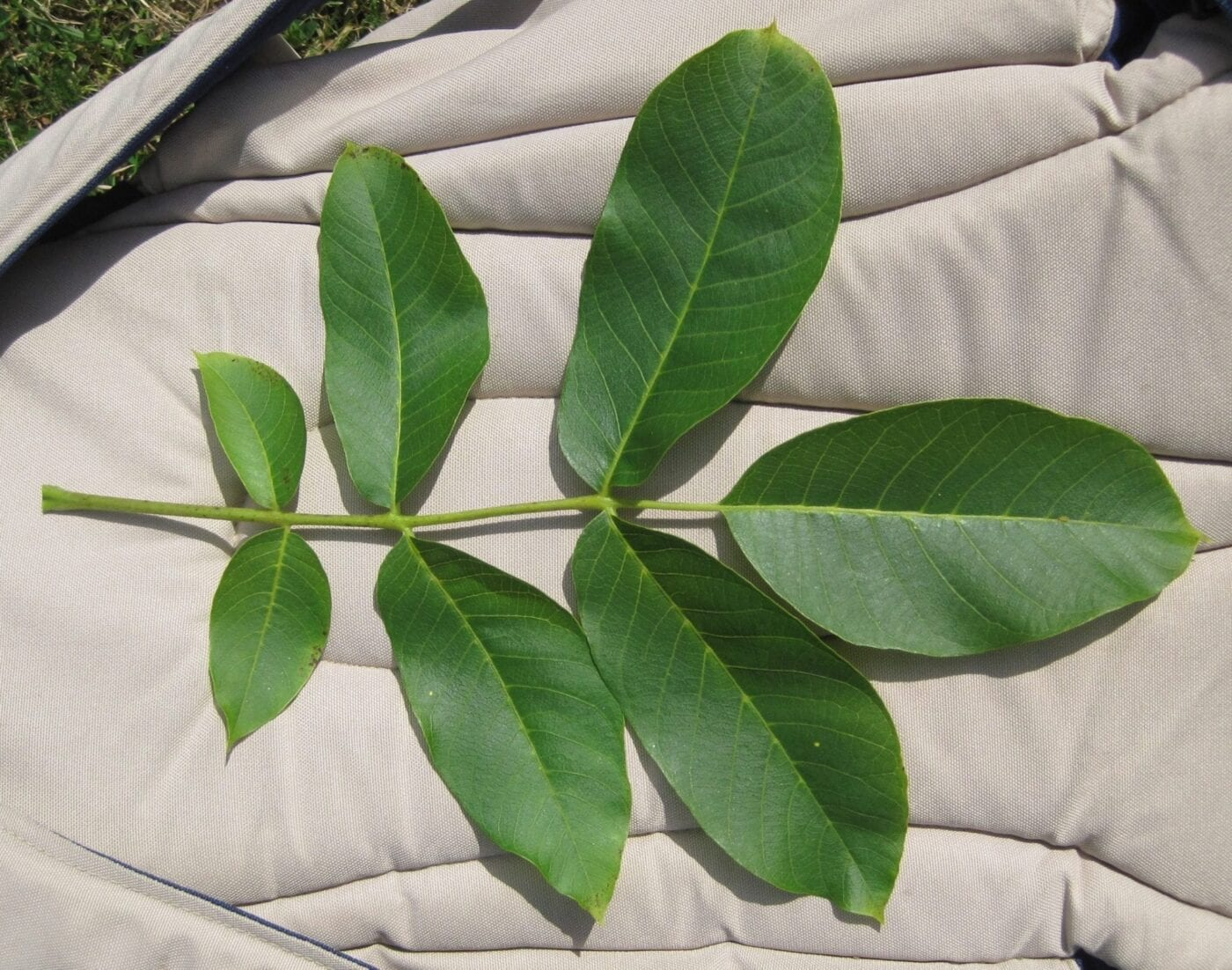 Common Walnut leaf