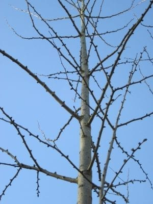 Ginkgo tree buds in winter
