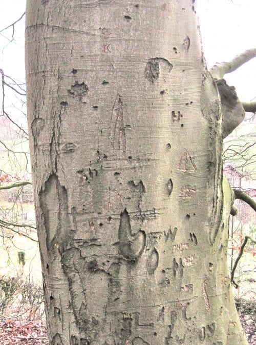 Common Beech bark