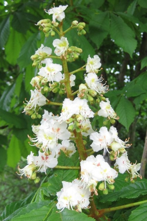 Horse Chestnut flowers in vertical candle