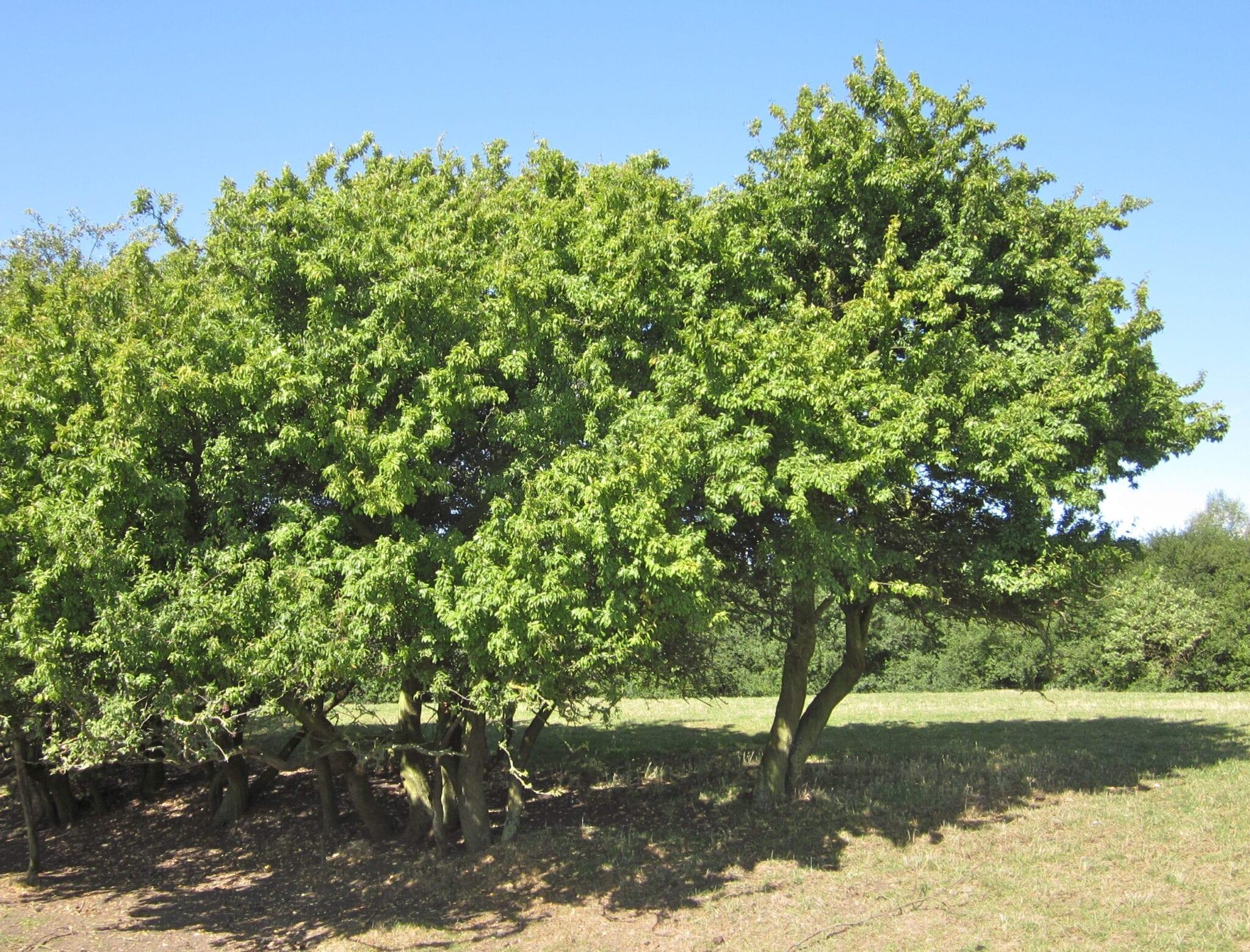 Blackthorn tree August