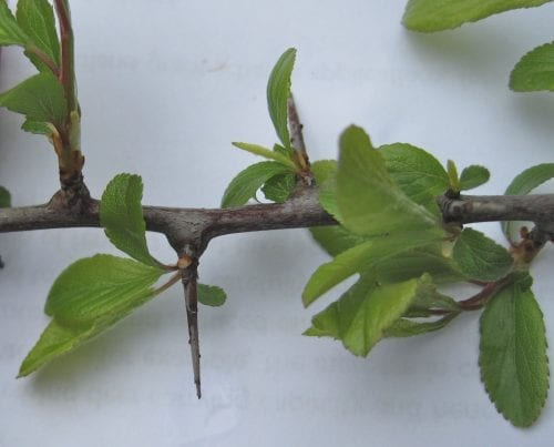 Blackthorn leaves and thorn