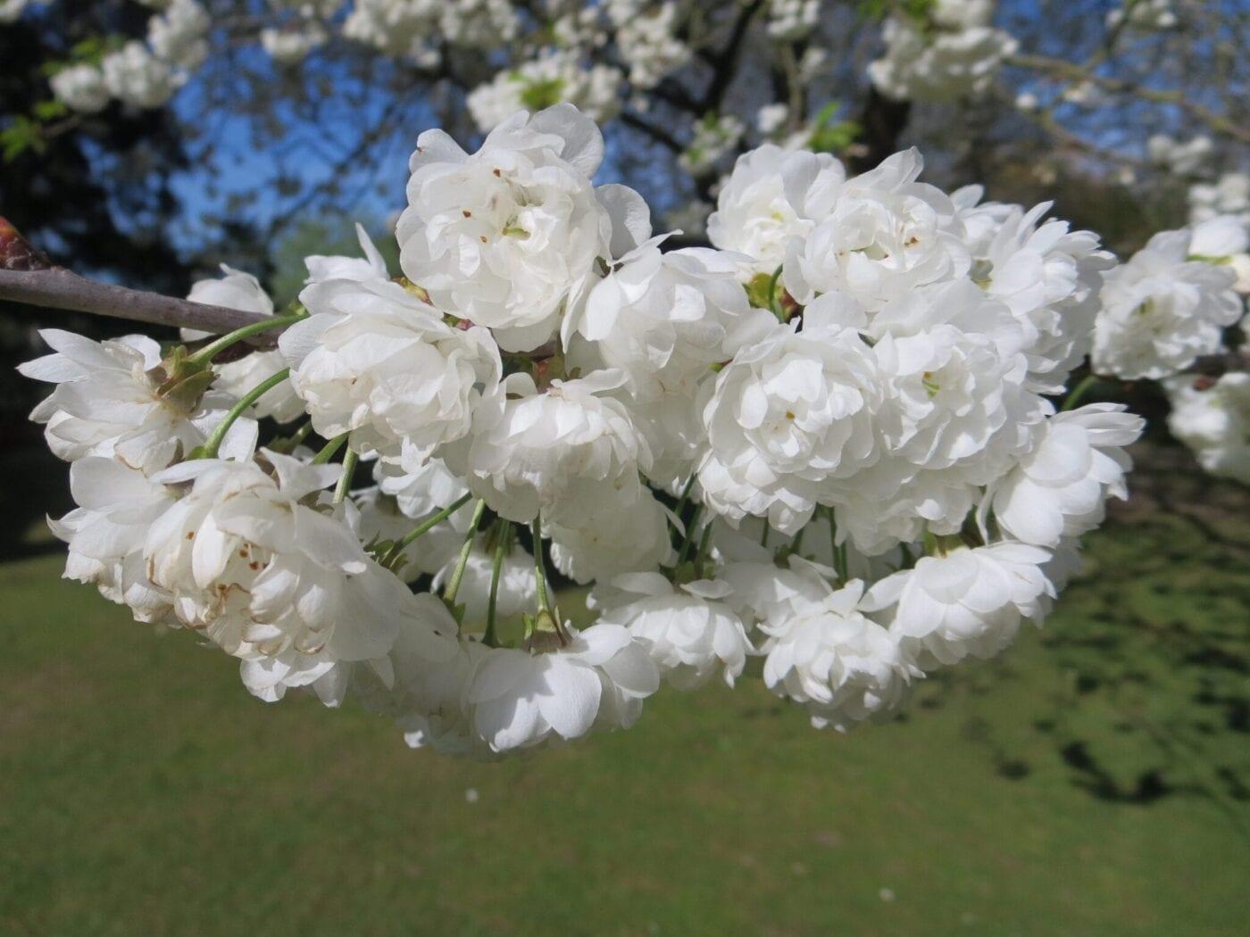 Wild Cherry cultivar 'Plena'