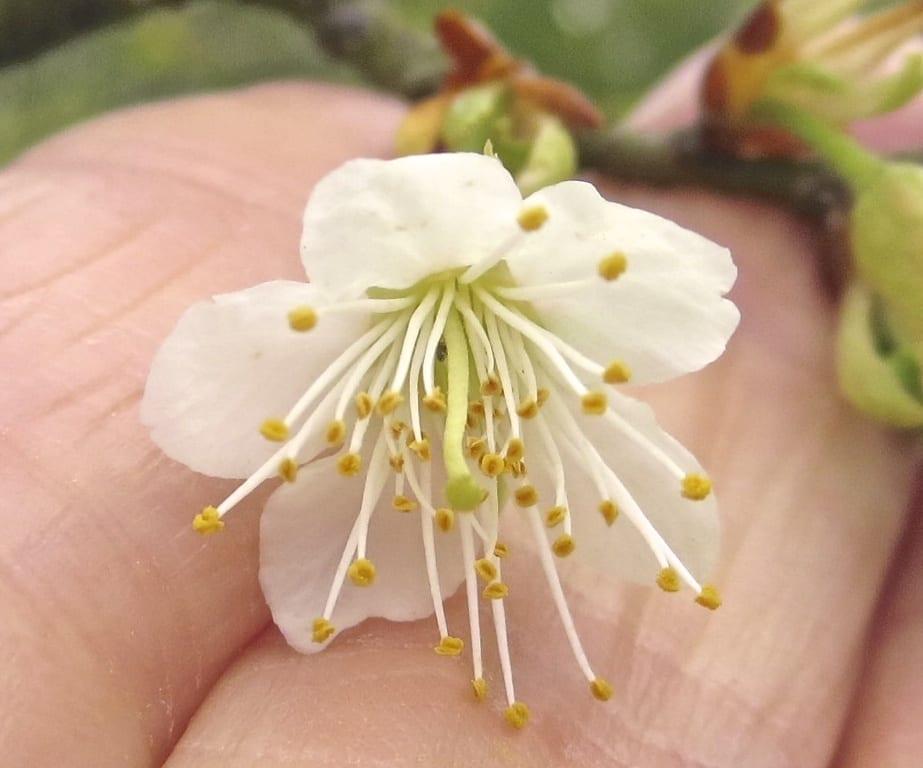 Tibetan Cherry flower