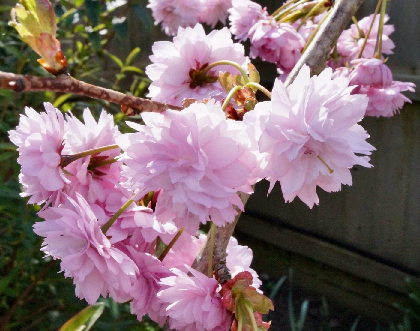'Cheal's Weeping' cherry flowers