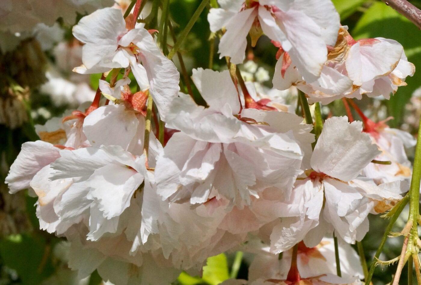 cherry 'shogetsu' flowers