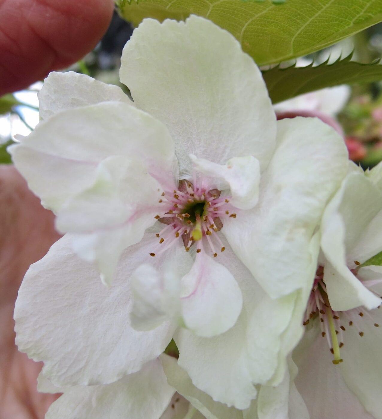 cherry ukon flower