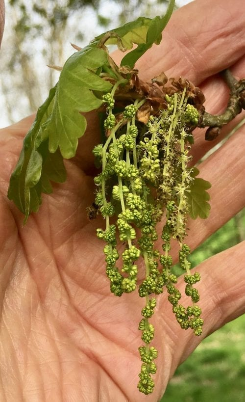 english oak male catkins