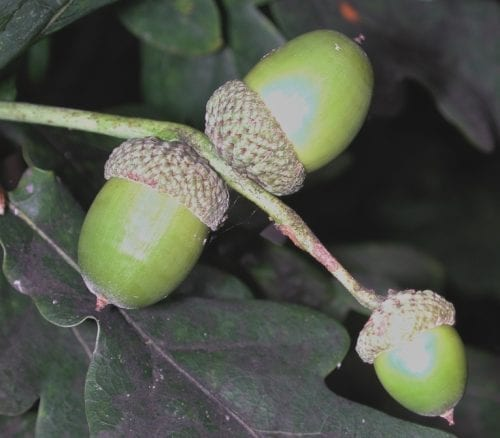 english oak acorns