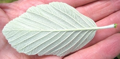 Common Whitebeam leaf