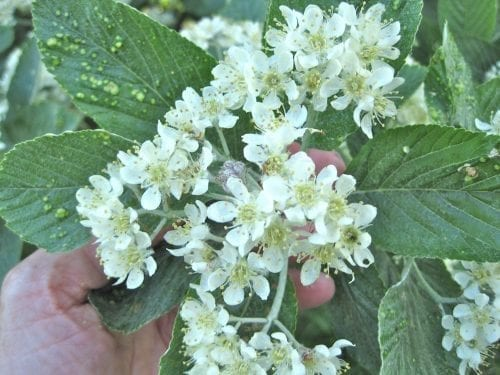 Common Whitebeam flower cluster