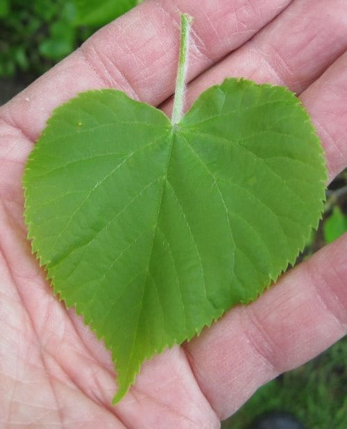 Small-leaved Lime leaf