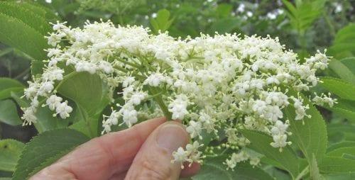 Elder flower cluster