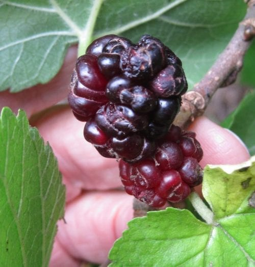 Black Mulberry fruit