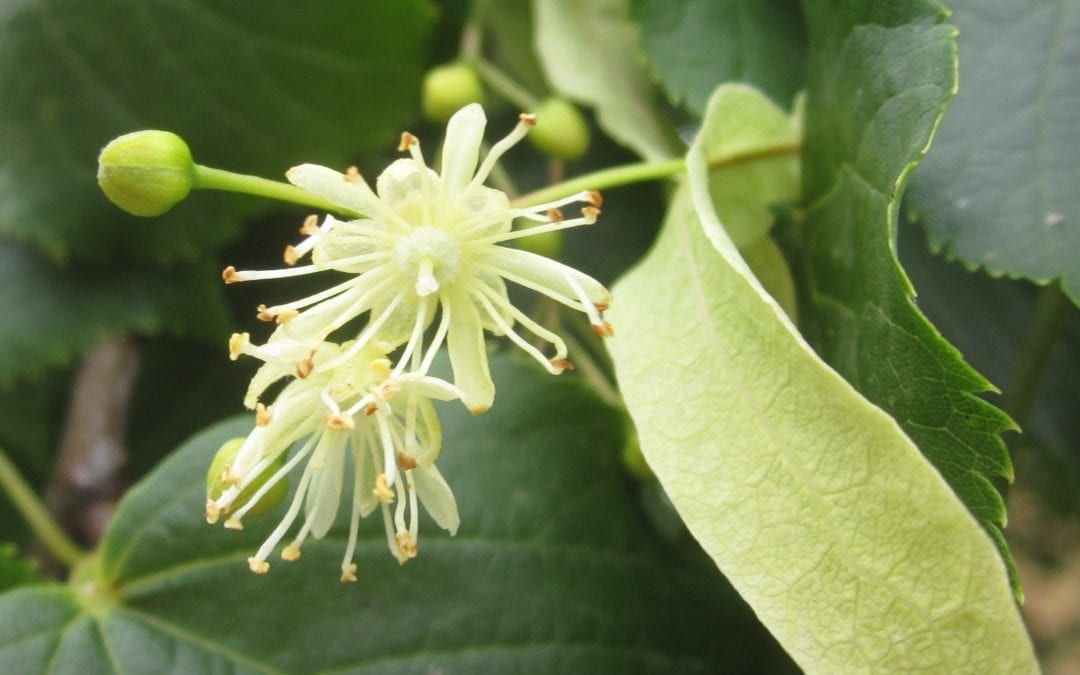 Lime Tree Flowers