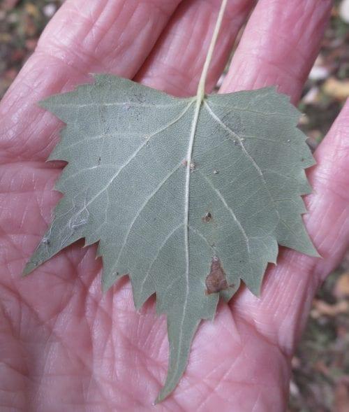 Mongolian Lime leaf